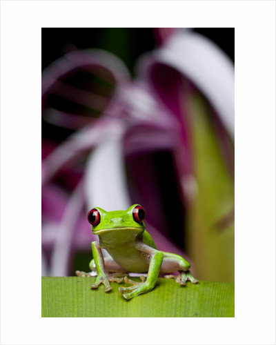 Red Eyed Tree Frog, Costa Rica by Corbis