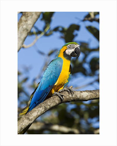 Green Macaw, Costa Rica by Corbis