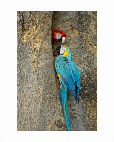 Blue and Gold Macaw with Scarlet Macaw, Costa Rica by Corbis