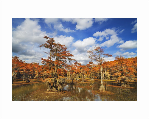 Cypress trees in autumn colors, Bayou, New Orleans, Louisiana, USA by Corbis