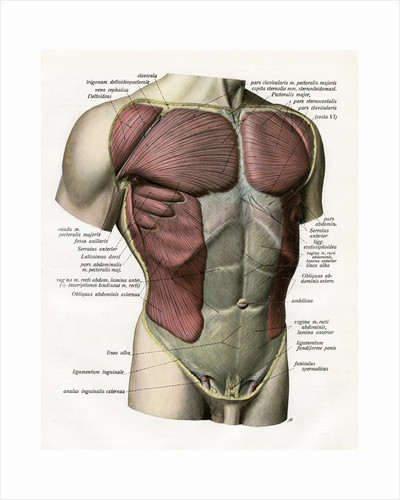 Illustration of the Muscles and Ligaments of the Human Torso by Corbis