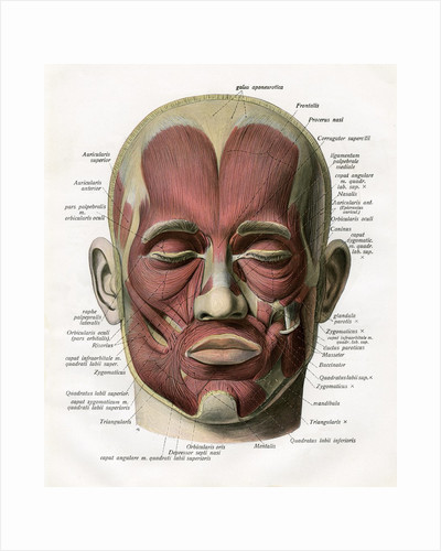 Frontal View of the Muscles of the Human Face by Corbis