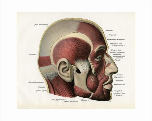 Lateral Cutaway View of the Muscles of the Face. by Corbis