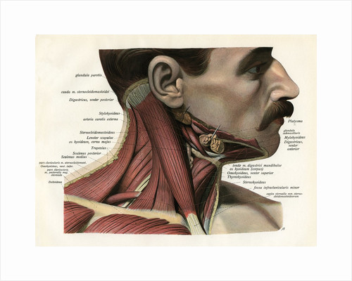Lateral View of the Muscles and Glands of the Human Neck by Corbis