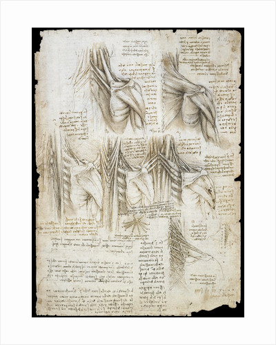 Drawing of the muscles of the spine by Leonardo da Vinci