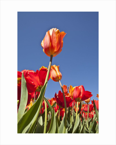 Tulips in bloom by Corbis