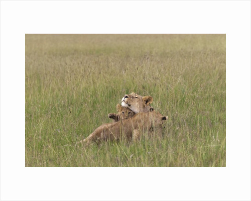 Lion cubs with mother by Corbis