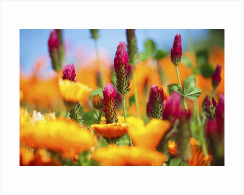 closeup wildflowers, Hood River, Colubia River Gorge National Scenic Area. Oregon. by Corbis