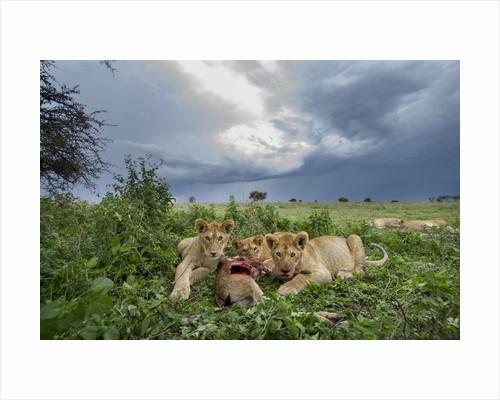 Lion Cubs on Ndutu Plains, Tanzania by Corbis