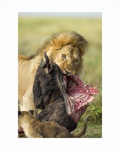 Lion feeding on Wildebeest by Corbis