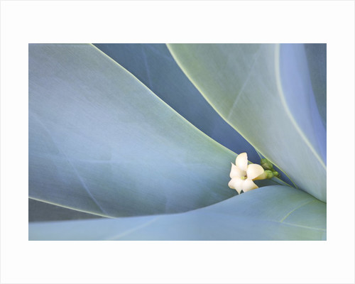 Agave Plants with lone Plumeria bloom on the Island of Maui by Corbis