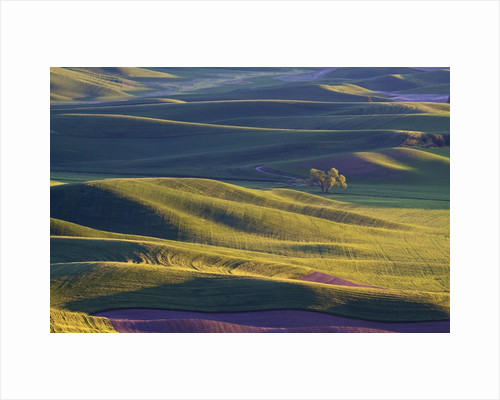 Lone Tree In Rolling Hills of Wheat by Corbis