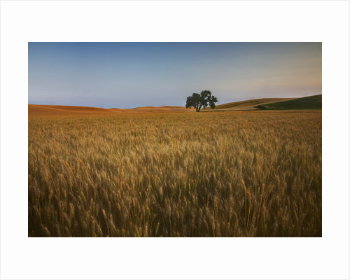 Lone Tree in Rolling Hills of Harvest Wheat by Corbis