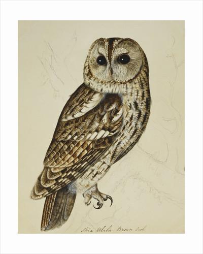 Brown Owl (Strix Ulula) by Christopher Atkinson