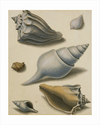 Studies of Shells and Marine Flora by Sydenham Teast Edwards