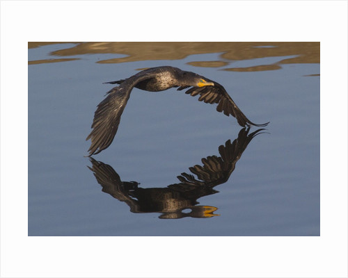Double-Crested Cormorant in flight by Corbis