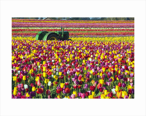 Colorful tulip farm by Corbis
