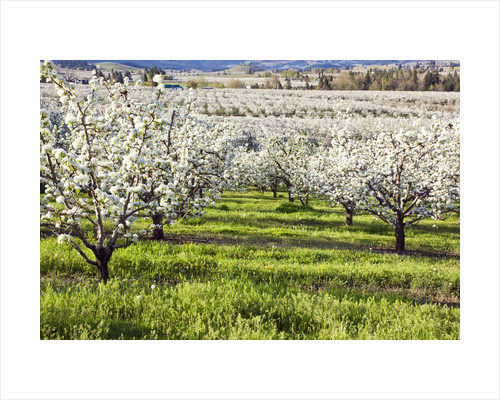Blossoms in orchard by Corbis