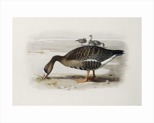 A White-Fronted Goose by Archibald Thorburn