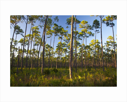 Pine Forest in Long Pine area of Everglades NP by Corbis