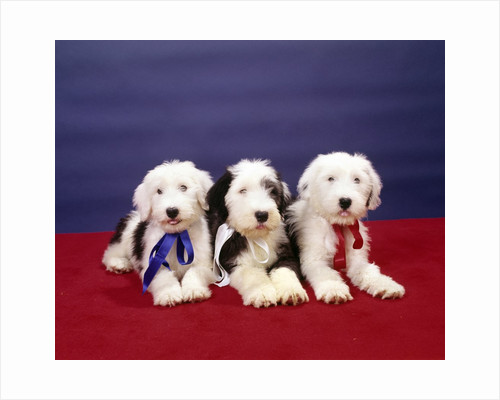 1980s Three Old English Sheep Dog Pups Lying Together Looking At Camera by Corbis