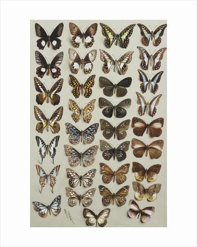 Thirty-three butterflies, in four columns, belonging to the Papilionidae and Danainae families by Marian Ellis Rowan