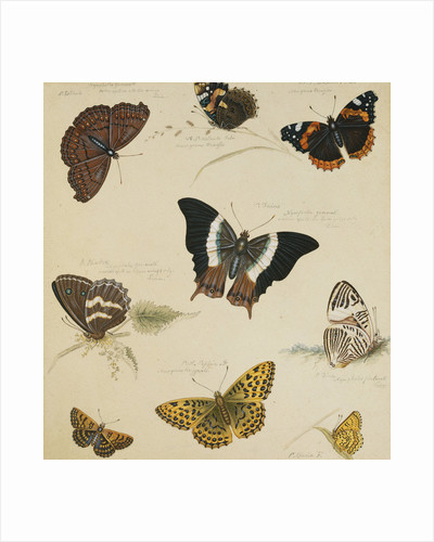 Studies of Butterflies and Insects by Sydenham Teast Edwards