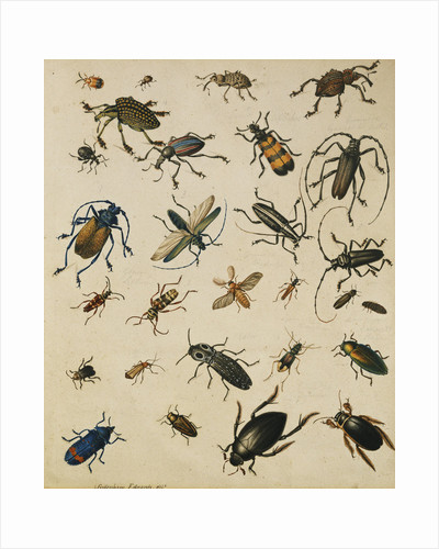 Studies of Insects by Sydenham Teast Edwards