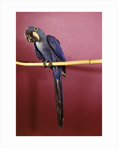 1960s Purple Hyacinthine Macaw On Perch In Philadelphia Zoo by Corbis