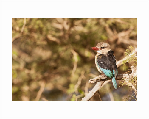 Brown-hooded Kingfisher by Corbis
