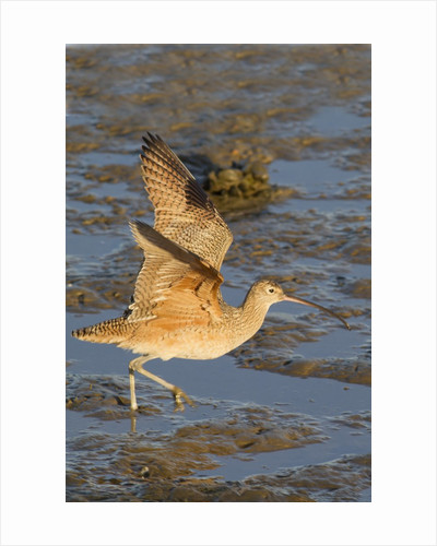 Long-Billed Curlew with raised wings by Corbis