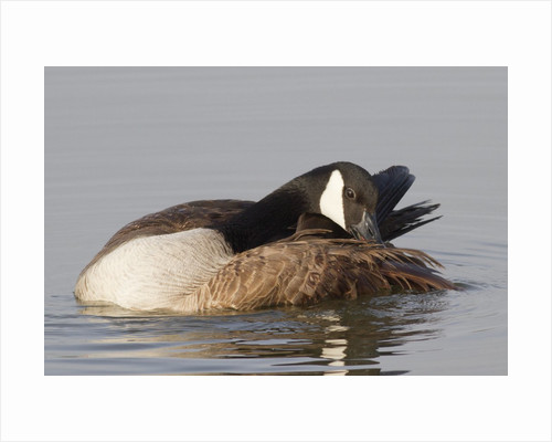 Canada Goose grooming its feathers by Corbis