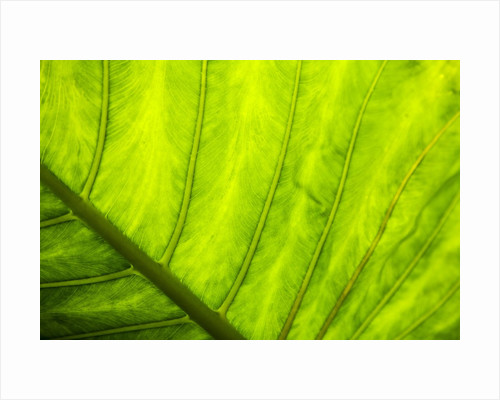 Large leaf of Banana plant by Corbis