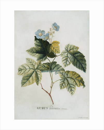 Rubus by Georg Dionysius Ehret