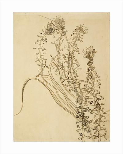Study of Tassel Hyancinth by Vincent Van Gogh