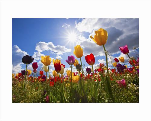 Tulip fields, Wooden Shoe Tulip Farm, Woodburn Oregon, United States by Corbis