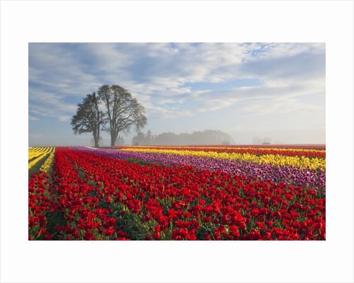Sunrise over tulip field, Wooden Shoe Tulip Farm, Woodburn, Oregon by Corbis