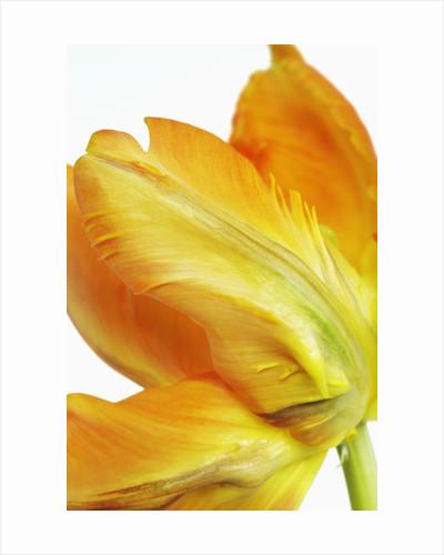 Parrot tulip by Corbis