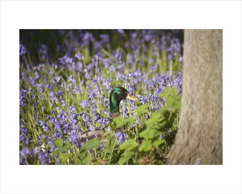 Duck in bluebells by Corbis