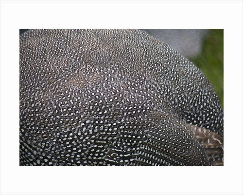 Guinea foul feathers by Corbis