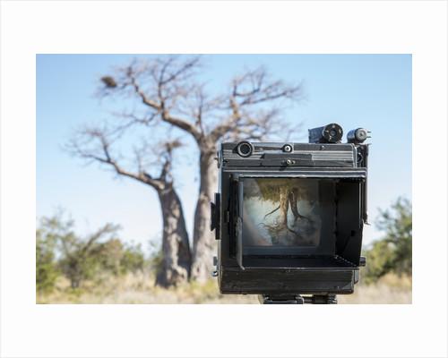 Baobab tree viewed through Speed Graphic, Nxai Pan National Park, Botswana by Corbis