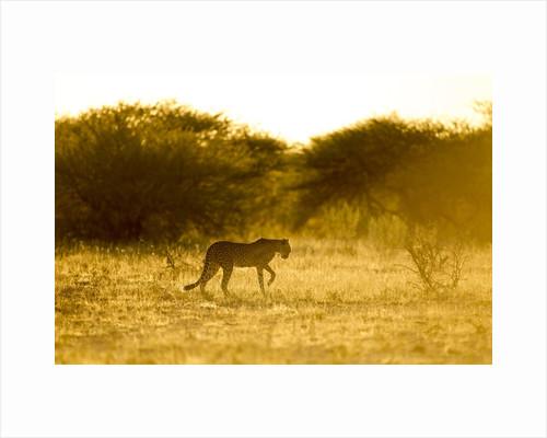 Cheetah at Dawn, Nxai Pan National Park, Botswana by Corbis
