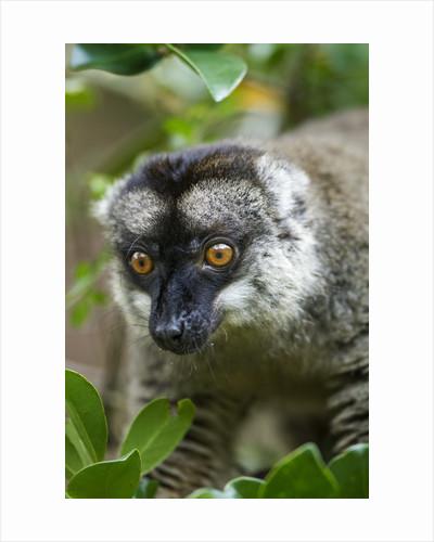 Common Brown Lemur, Madagascar by Corbis
