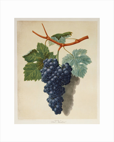 Black Muscadine Grapes by Corbis