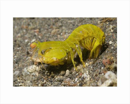 Smooth Mantis Shrimp female by Corbis