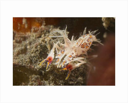Spiny Tiger Shrimp by Corbis
