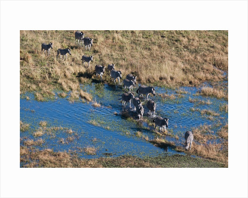 Aerial view of plains zebras by Corbis