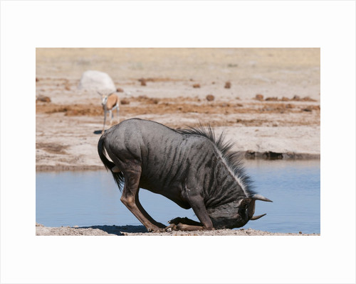 Blue wildebeest by Corbis