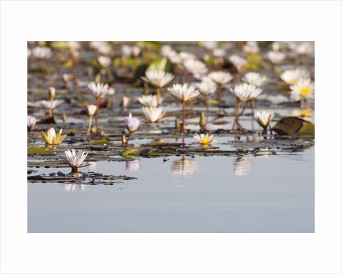 Wild Water Lilies by Corbis