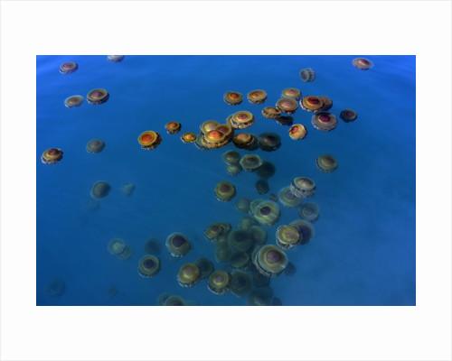Jellyfish, Cotylorhiza tuberculata, Jellyfish bloom, Mediterranean, Greece by Corbis